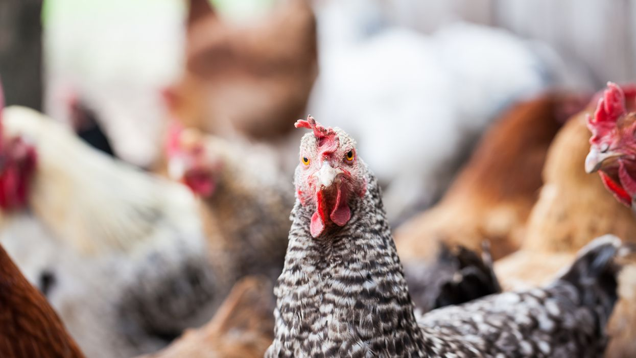 A Group Is Trying To Legalize Backyard Chickens In NDG