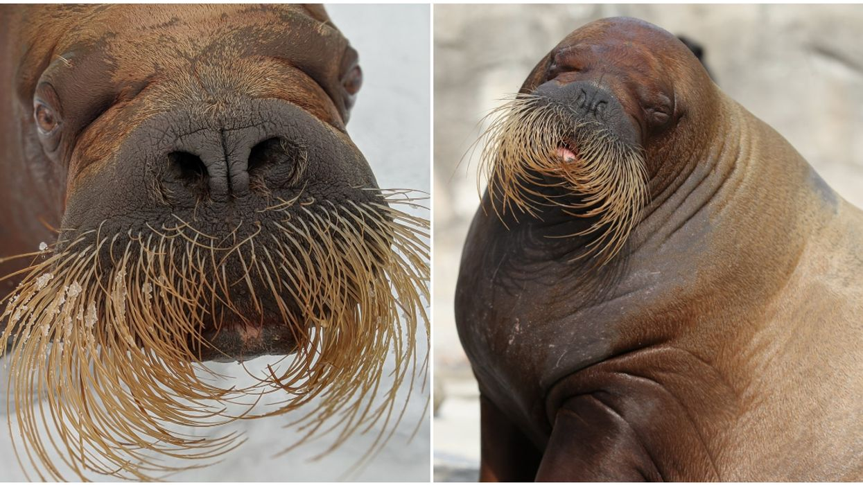 The Aquarium du Québec's Walrus Arnaliaq Has Died At The Age Of 17