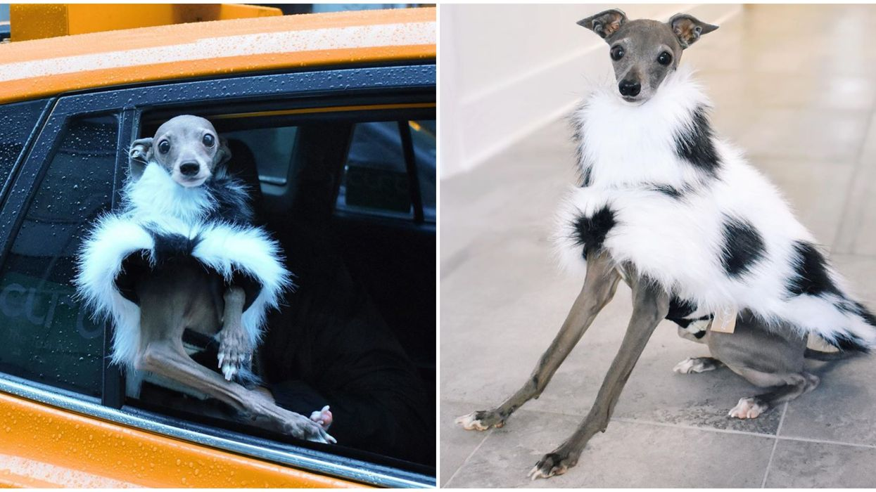 Insta-Famous Montreal Dog With Big Devil Wears Prada Vibes Is Prettier Than You'll Ever Be