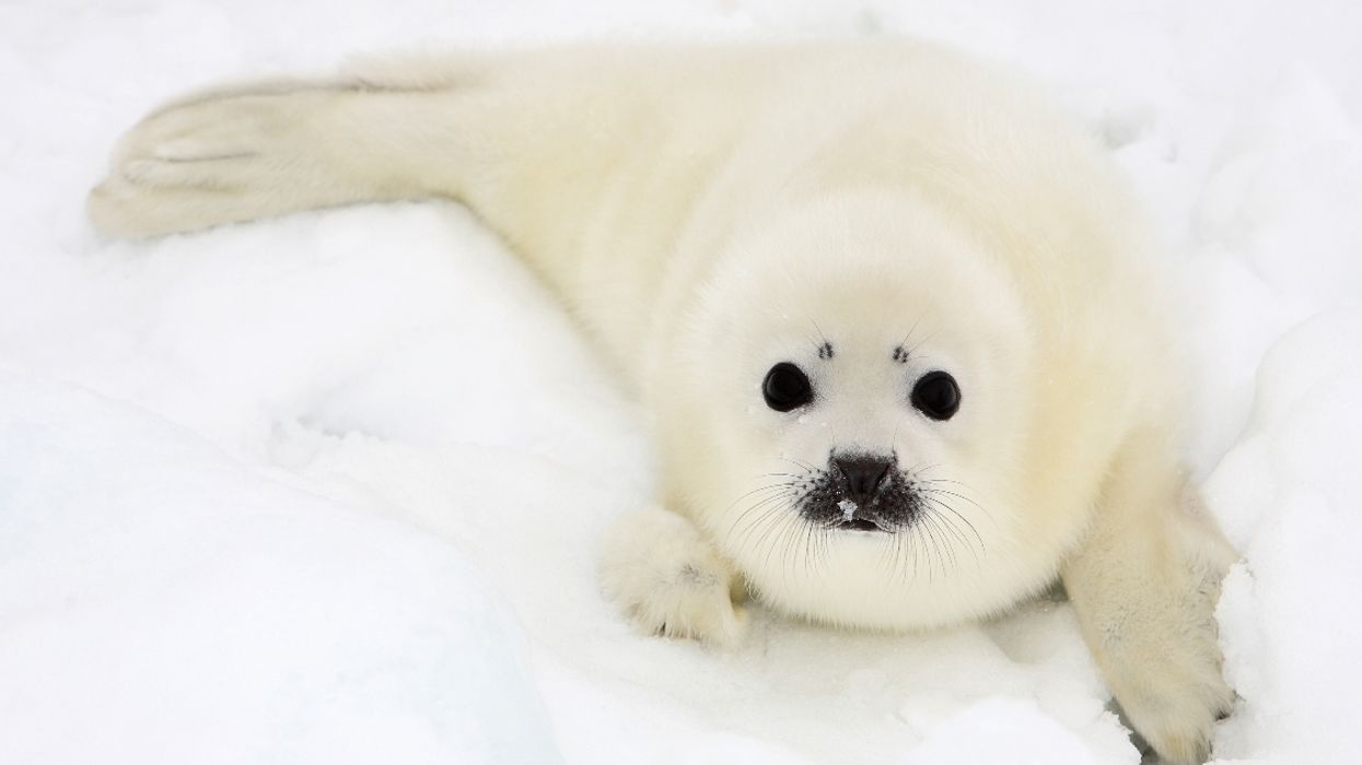 National Geographic Names Quebec Islands Populated By Baby Seals Top Place To Travel 2020