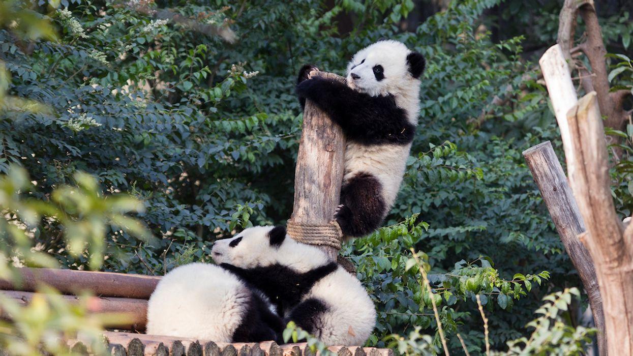 The First-Ever Albino Panda Caught On Camera (Photo)