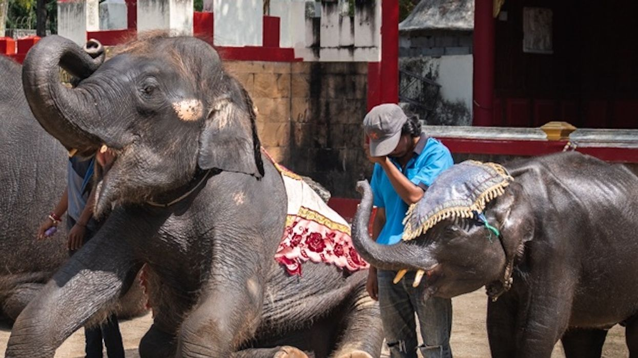 """Baby Elephant """"Dumbo"""" Dies After Breaking Both Back Legs While Dancing For Tourists"""