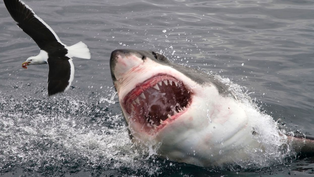 Great White Sharks Have Been Found Lurking In Canadian Waters