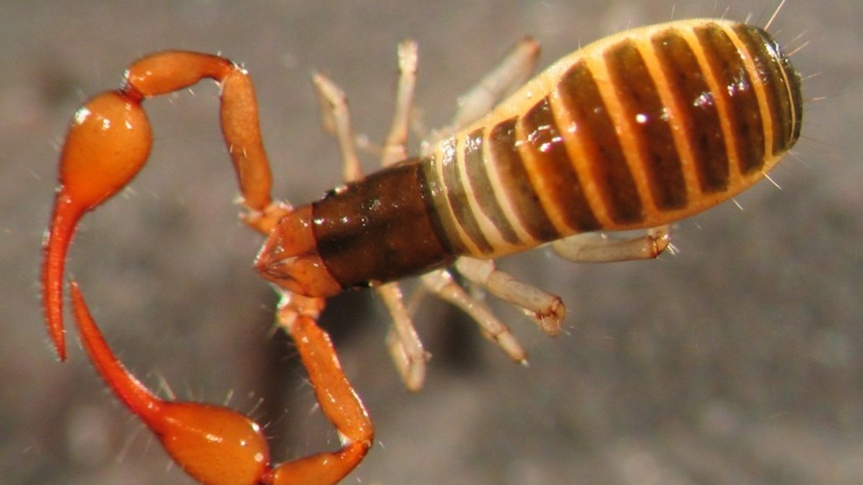 """""""Scorpion Spiders"""" Are Popping Up In Homes Across Canada"""