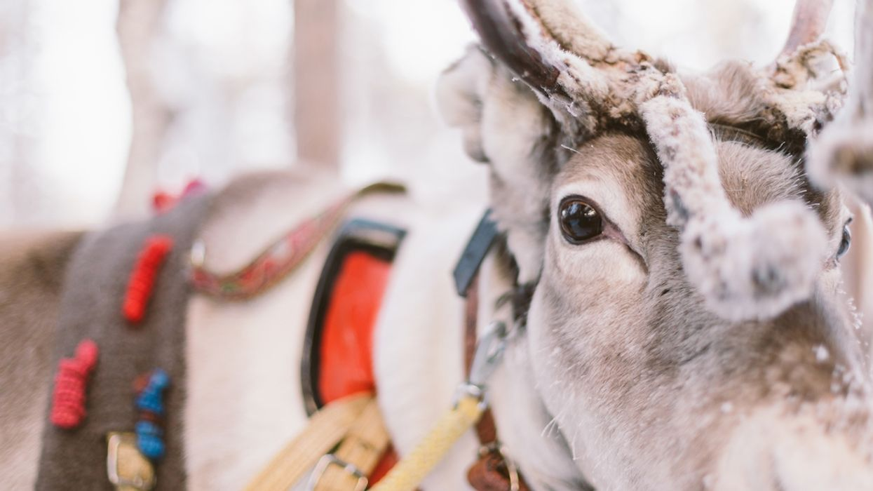 """Quebec Has Banned Santa's Reindeer This Year Because Of A Deadly """"Mad Cow-Like"""" Disease"""