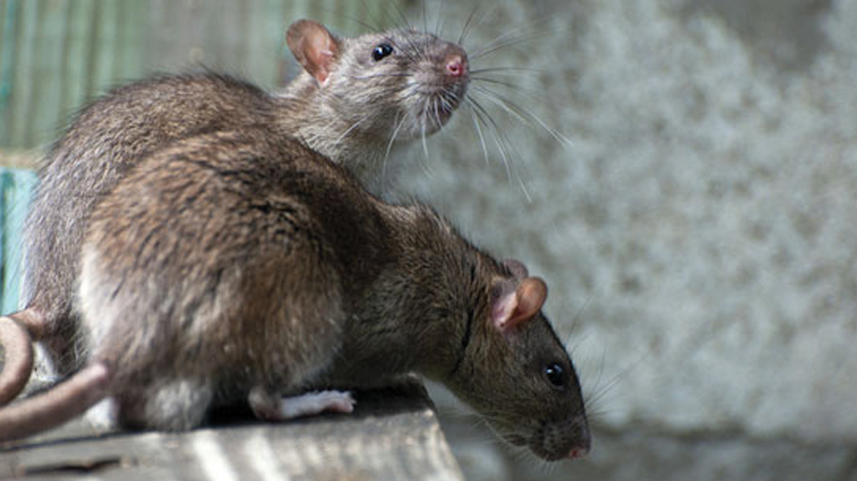 Montreal Has A Giant Rat Problem And The Close Encounters Told On Reddit Are Bone-Chilling