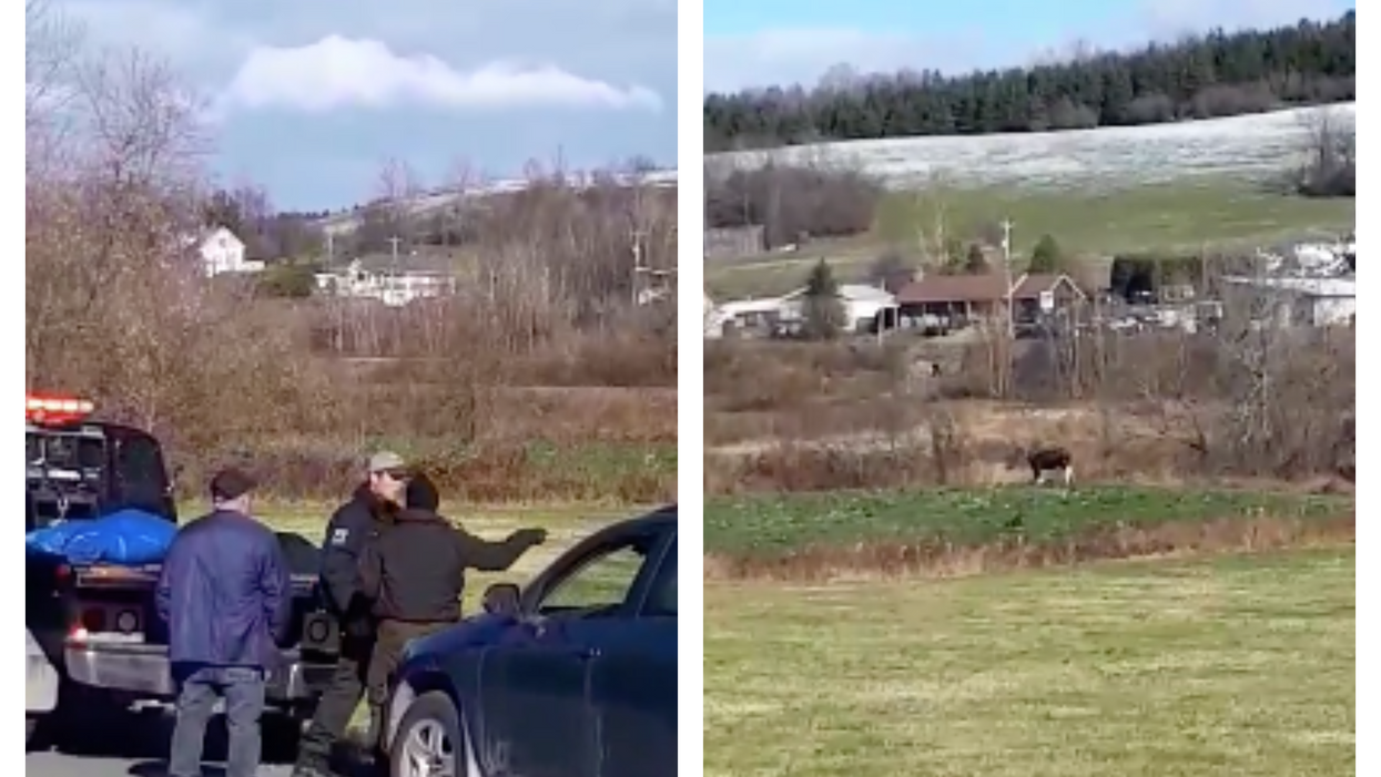 Quebec Wildlife Official Receives Death Threat For Killing A Sick Moose [Video]