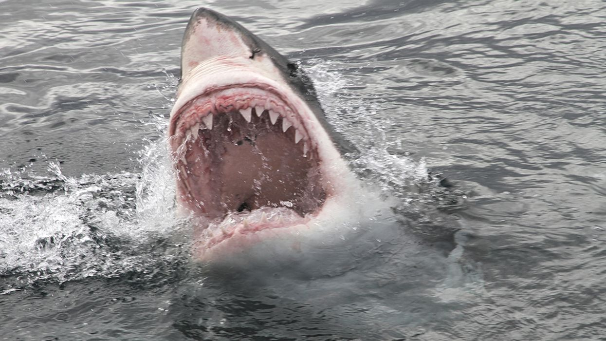 Man Killed In First Deadly Shark Attack In Over 80 Years In North America