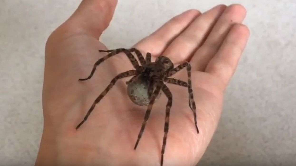 This Is The Biggest Spider That Actually Exists In Canada