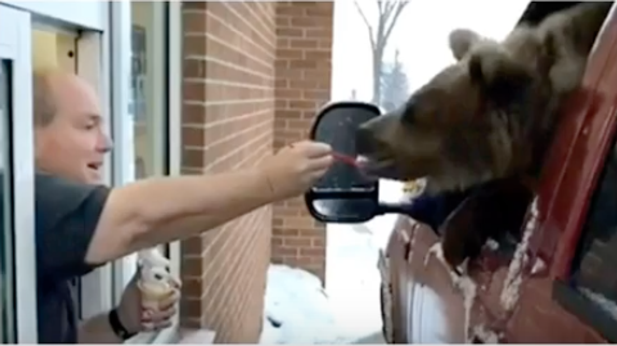 Canadian Zoo Is Being Charged After Taking A Bear To The Drive Through For Ice Cream