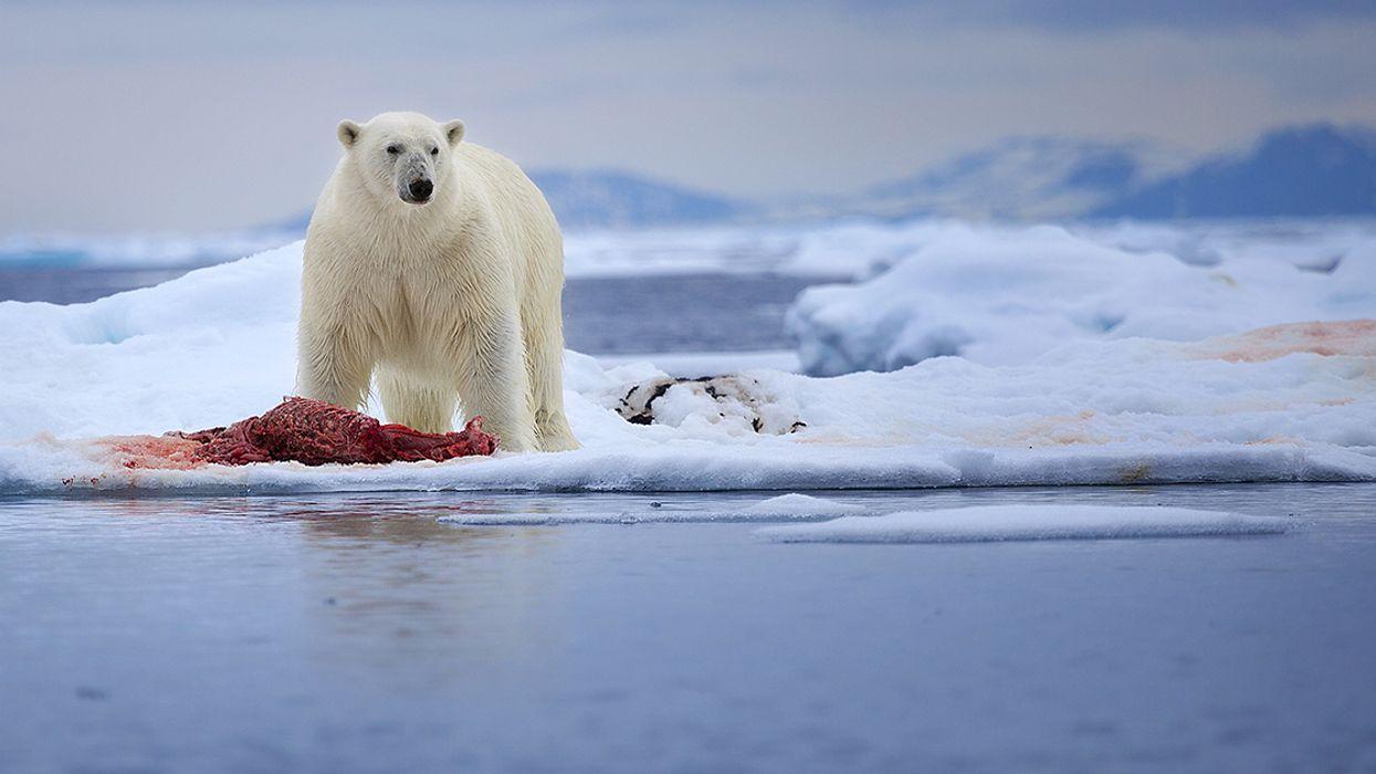 Quebec Teacher Comes Face To Face With A Polar Bear