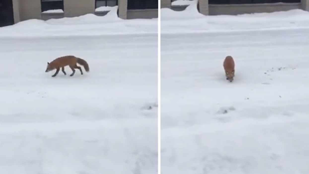 Fox Spotted Walking Around In Montreal (Video)