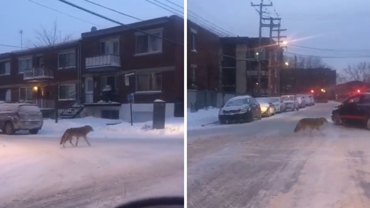 Wolf Spotted Walking Around In Montreal (Video)