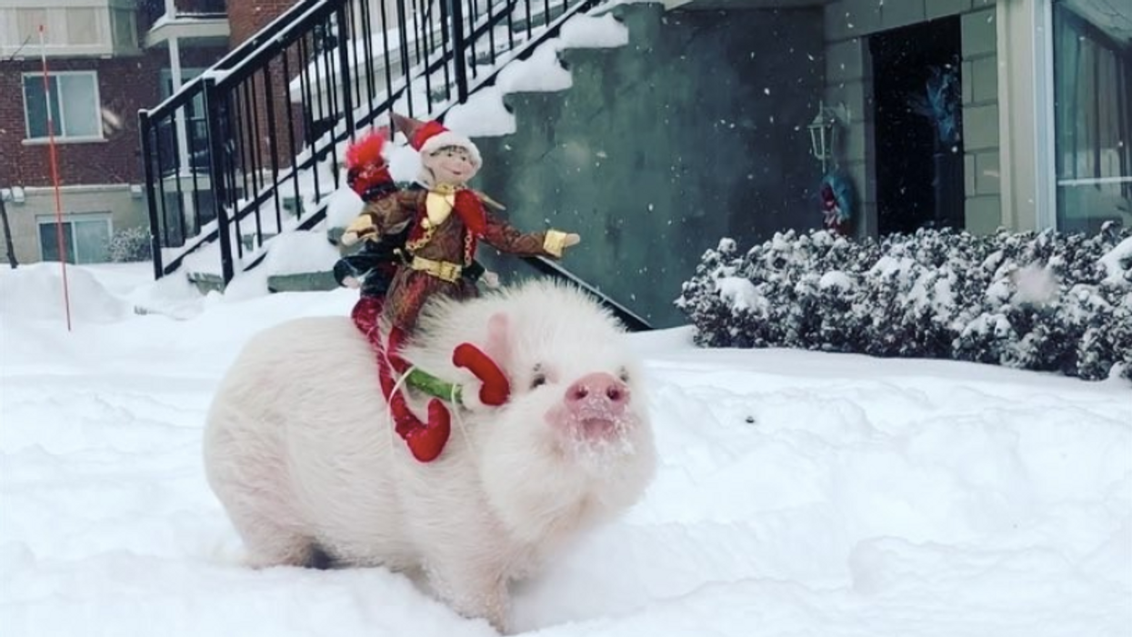 This Canadian Pig Is Travelling The World And Making Money With Instagram