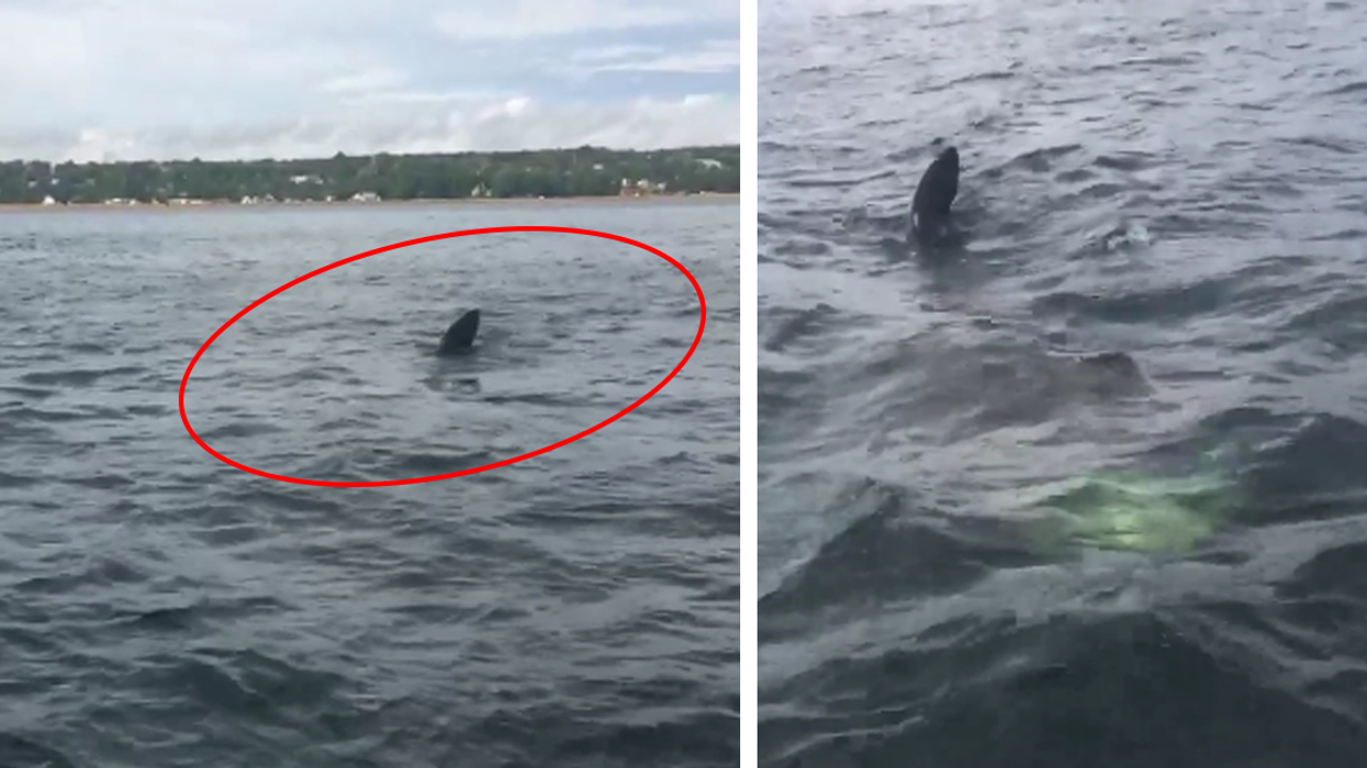 Video Showing Giant Shark Swimming In Quebec Waters
