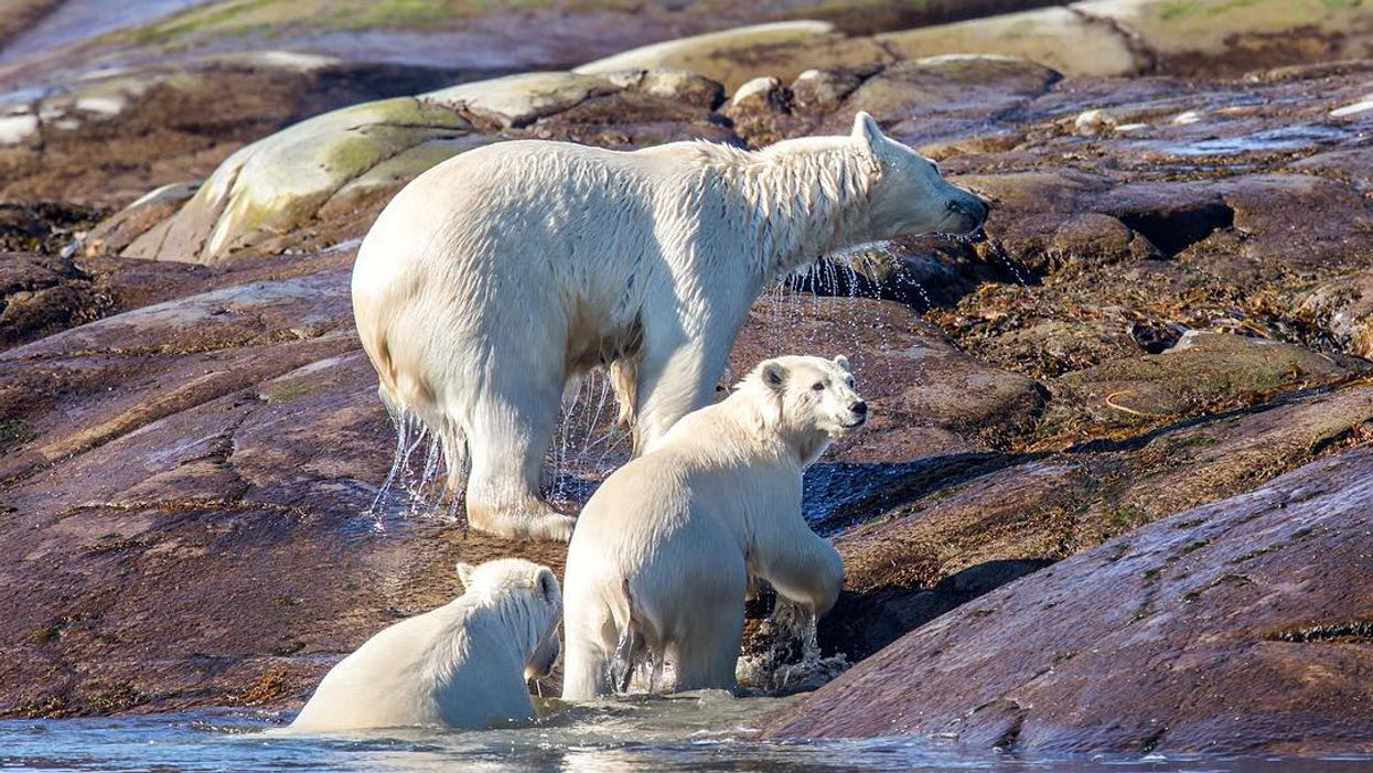 """You Can Now Go """"Polar Bear Watching"""" In Quebec"""