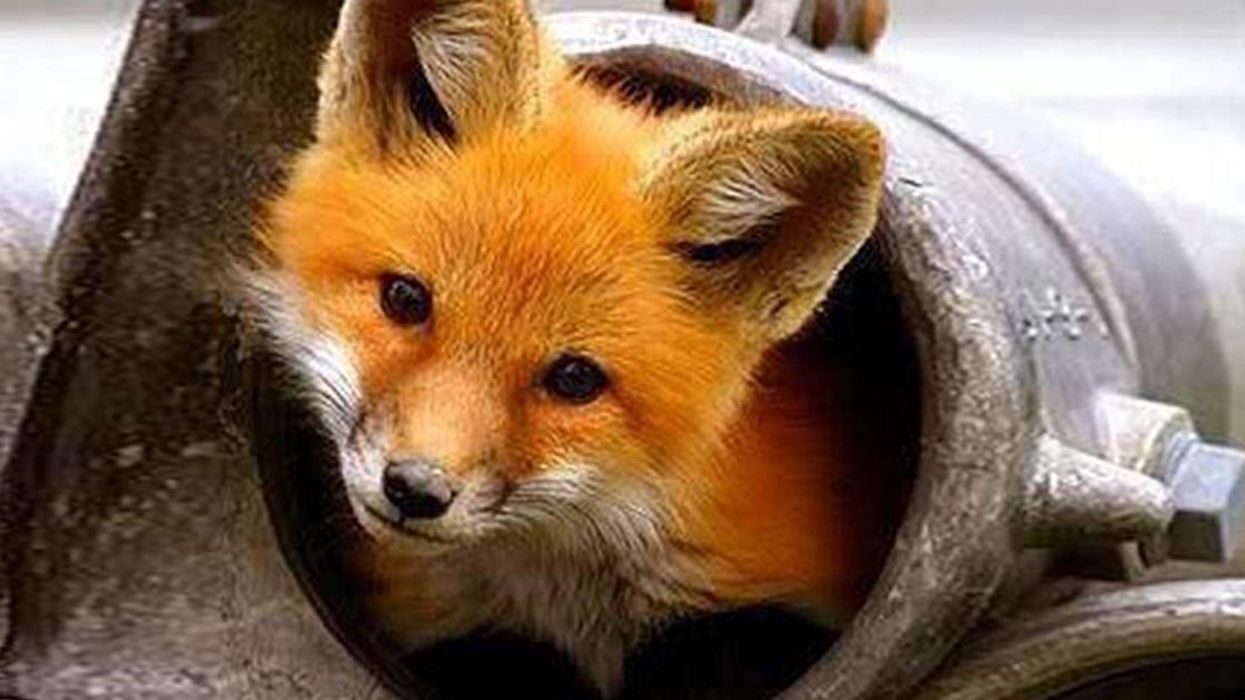 A Baby Fox Was Trapped In Montreal's STM Metro For 3 Days, Here's What Actually Happened