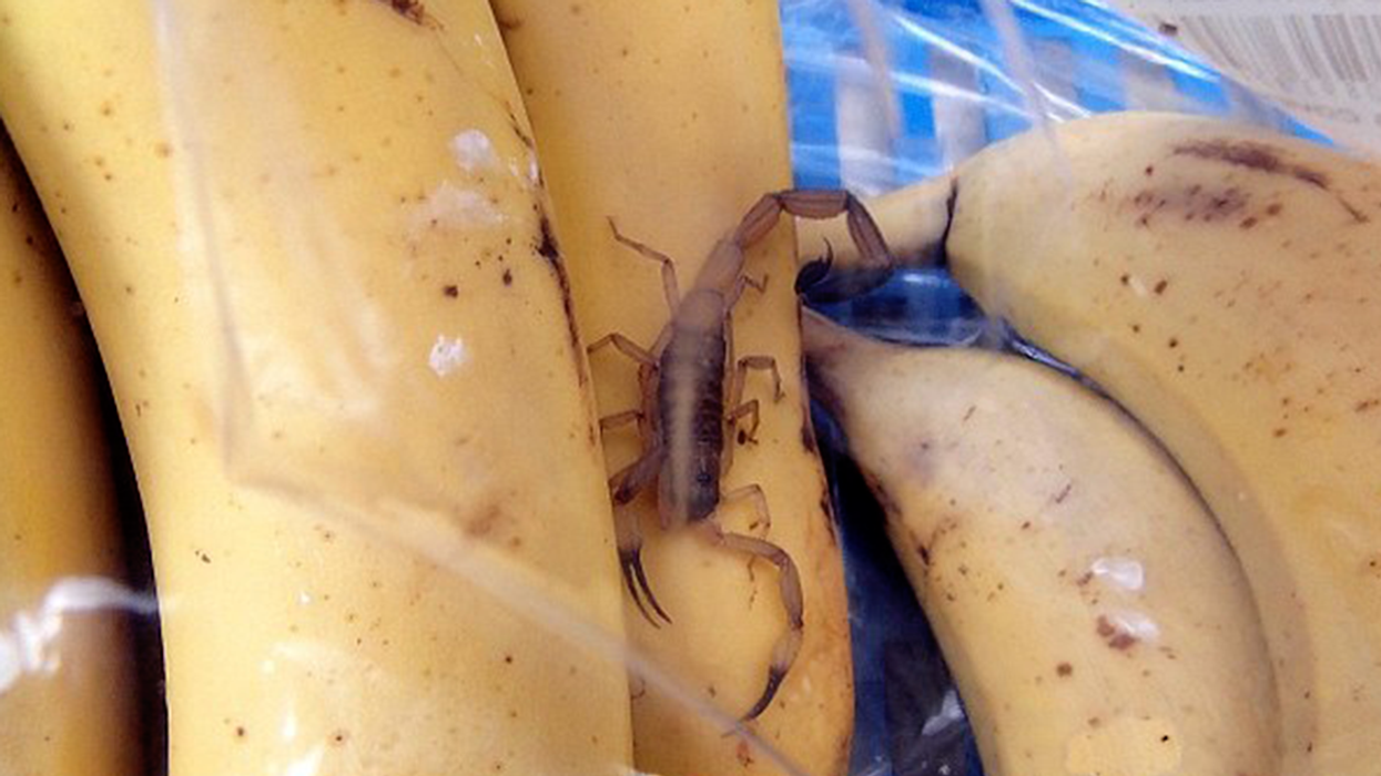 Canadian Man Finds Live Scorpion In His Costco Bananas