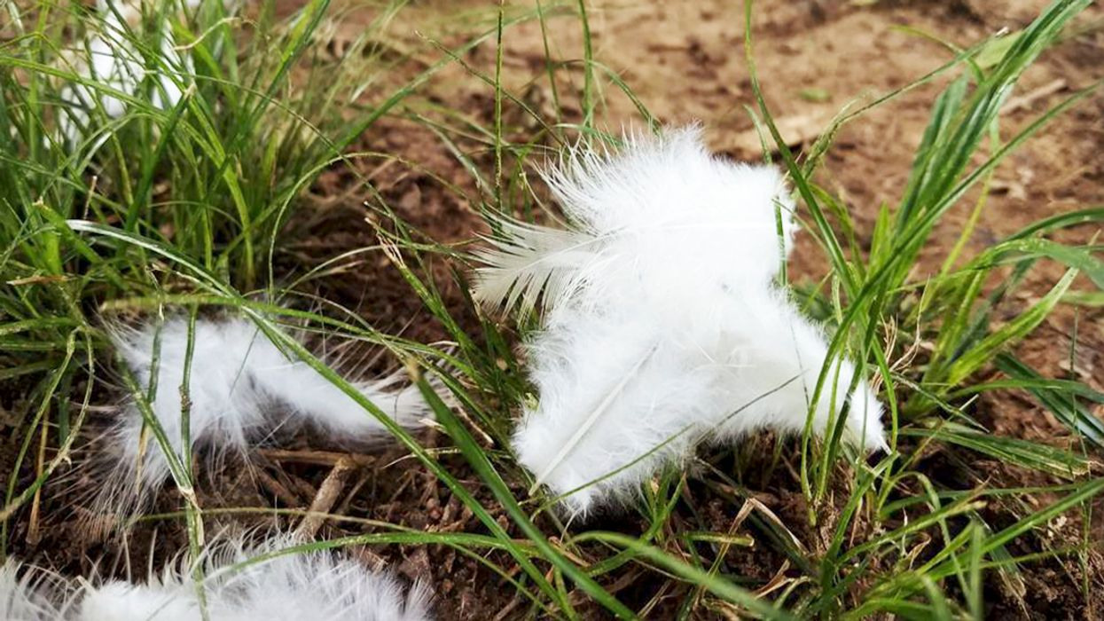 This Is Why You're Spotting White Feathers Scattered All Over Downtown Montreal Today