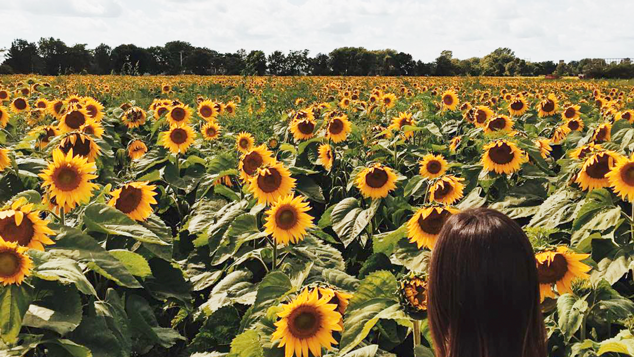 Quebec's Beautiful Sunflower Fields Near Montreal You Need To Roadtrip To This Summer
