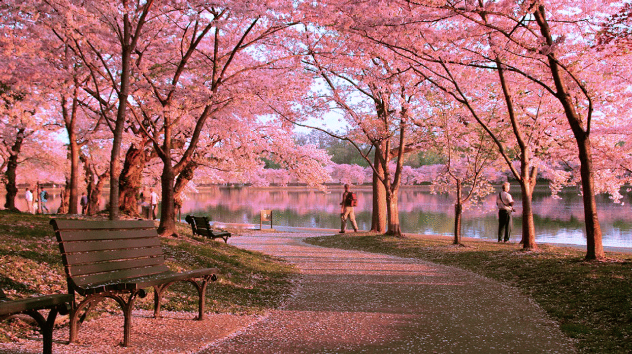 """The Montreal """"Cherry Blossom Tree Festival"""" You Need To Check Out Before It's Too Late"""