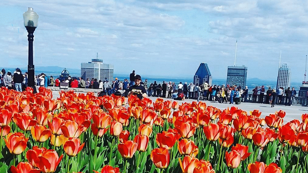 """Mount-Royal Lookout To Host """"Tulip Festival"""" In May"""