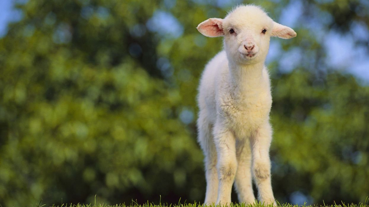 Animal Sacrifice Is Totally Legal In Quebec