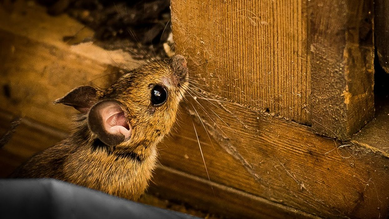 Mice Are Invading Montreal Apartments & Homes