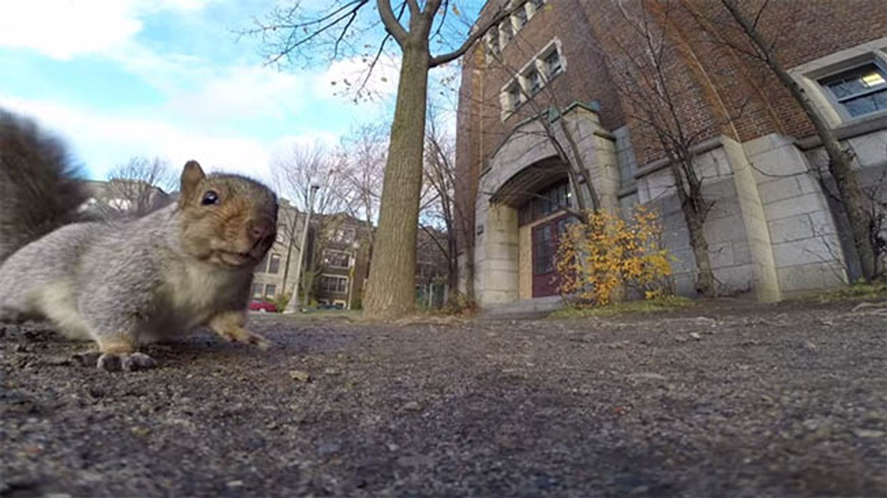 Squirrel Steals Montreal Man's GoPro Camera Then Carries It Up A Tree In Westmount Park