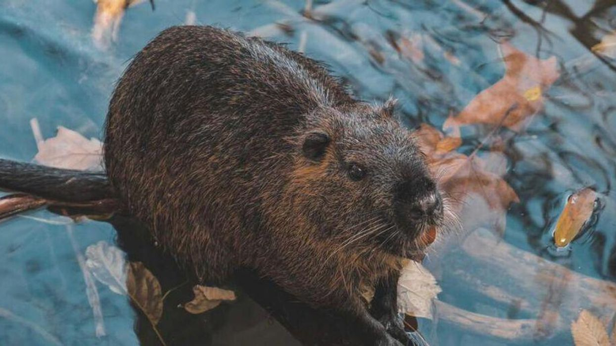 Giant Prehistoric Beaver The Size Of A Bear Found In Canada