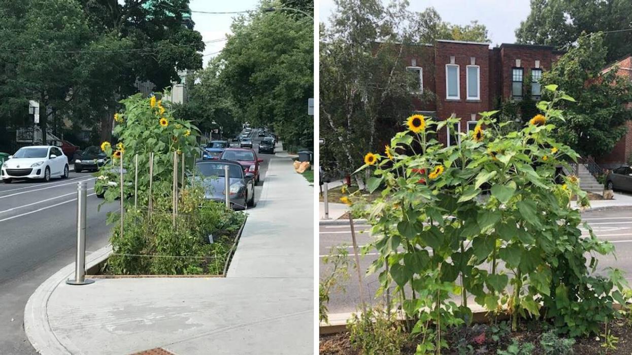 Montreal Deems Gigantic Sunflowers Traffic Hazards