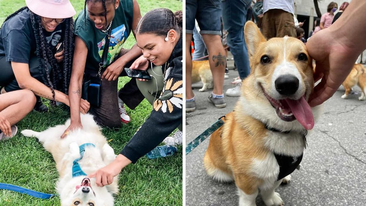 Montreal Hosted A Huge Corgi Party With 150 Dogs & It Was A Sea Of Fluffy Butts (PHOTOS)