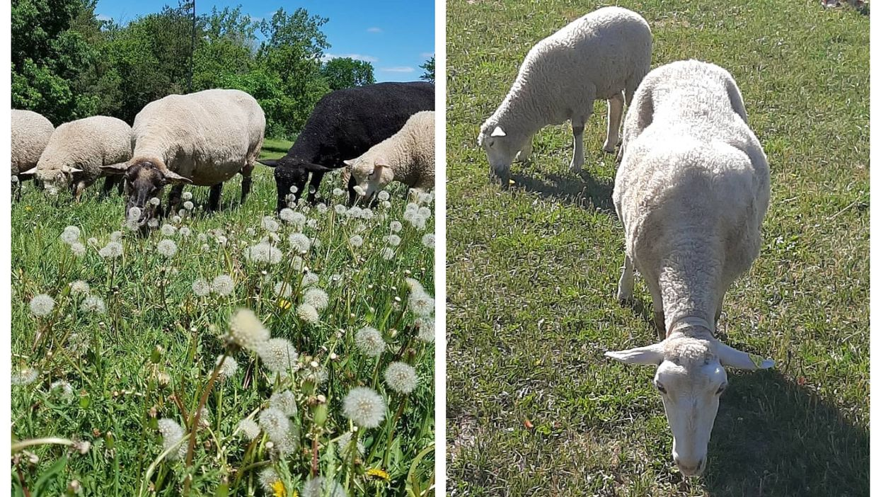 You Can Hang Out With Sheep In This Montreal Park All Summer Long