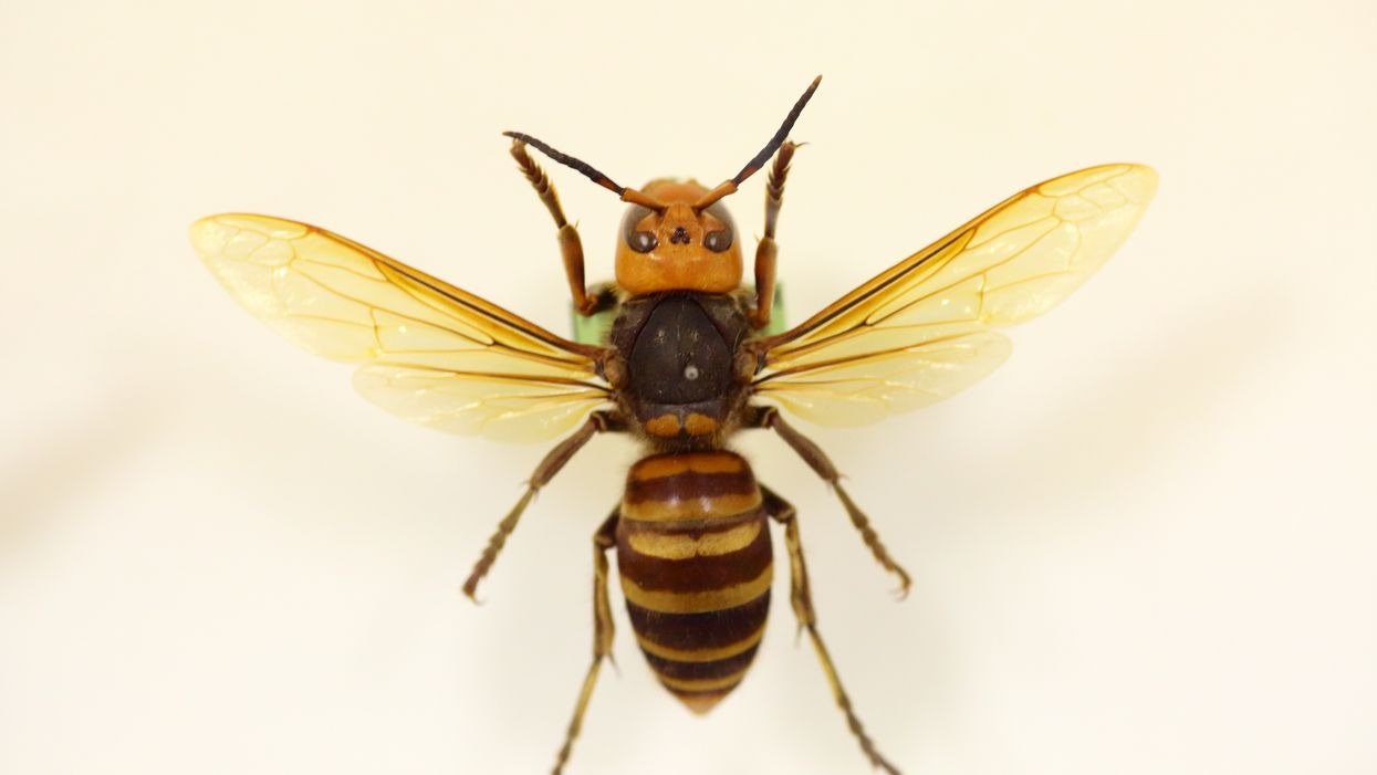 Deadly Japanese Hornets Have Been Found In Canada