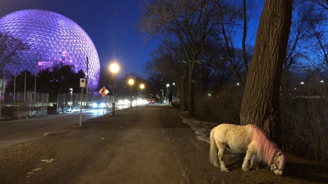 A Mini Horse Mysteriously Appeared In Montreal And No One Knows Where It Came From