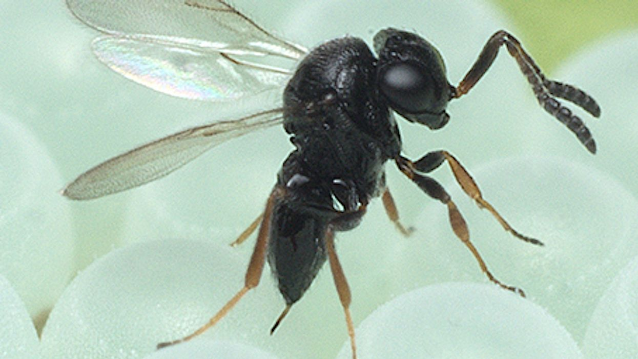 """Parasitic """"Samurai Wasp"""" Species Spotted For The First Time In Canada And Likely To Spread"""