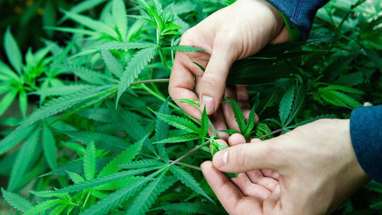 Canada Is Dangerously Unprepared For Marijuana Legalization