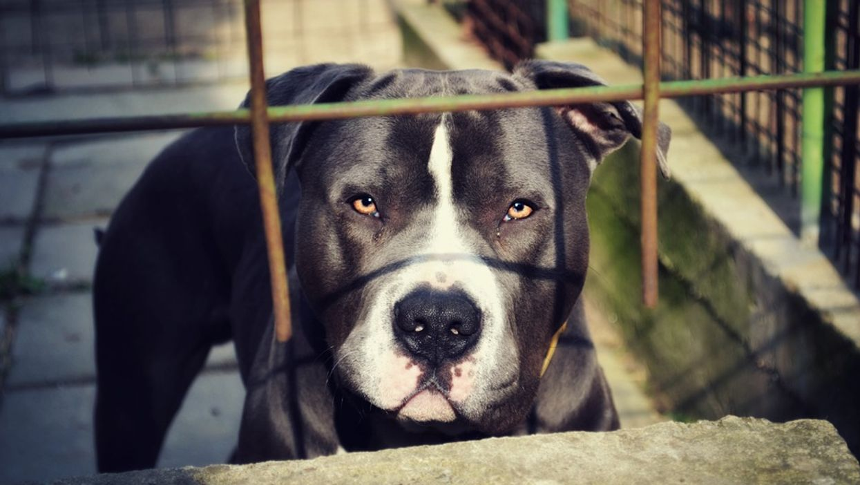 Montreal's New Animal Control Bylaws Will See Dangerous Dogs Euthanized