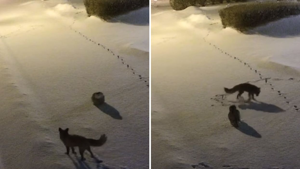 Video Showing Canadian Owl Vs. Fox In The Snow
