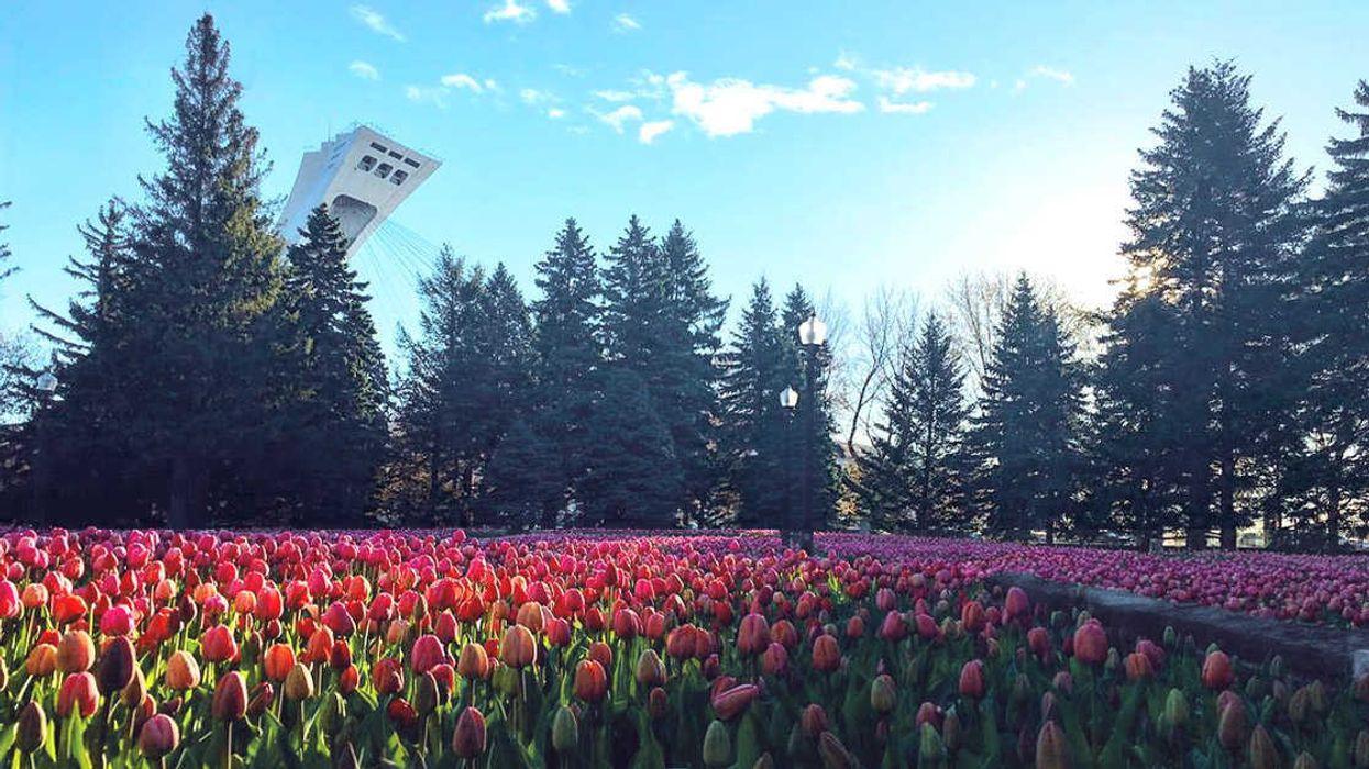 Montreal's Botanical Garden Is Hosting A Tulip Festival