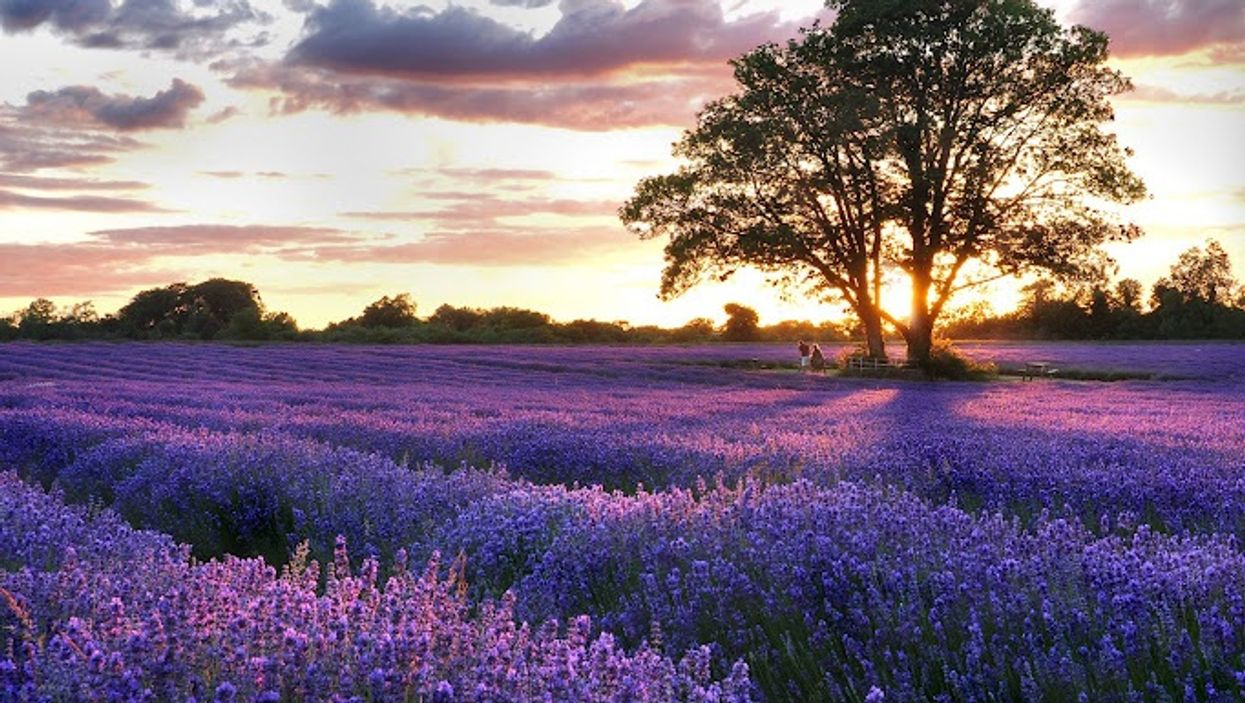 Quebec's Beautiful Lavender Fields Near Montreal You Need To Road Trip To This Summer