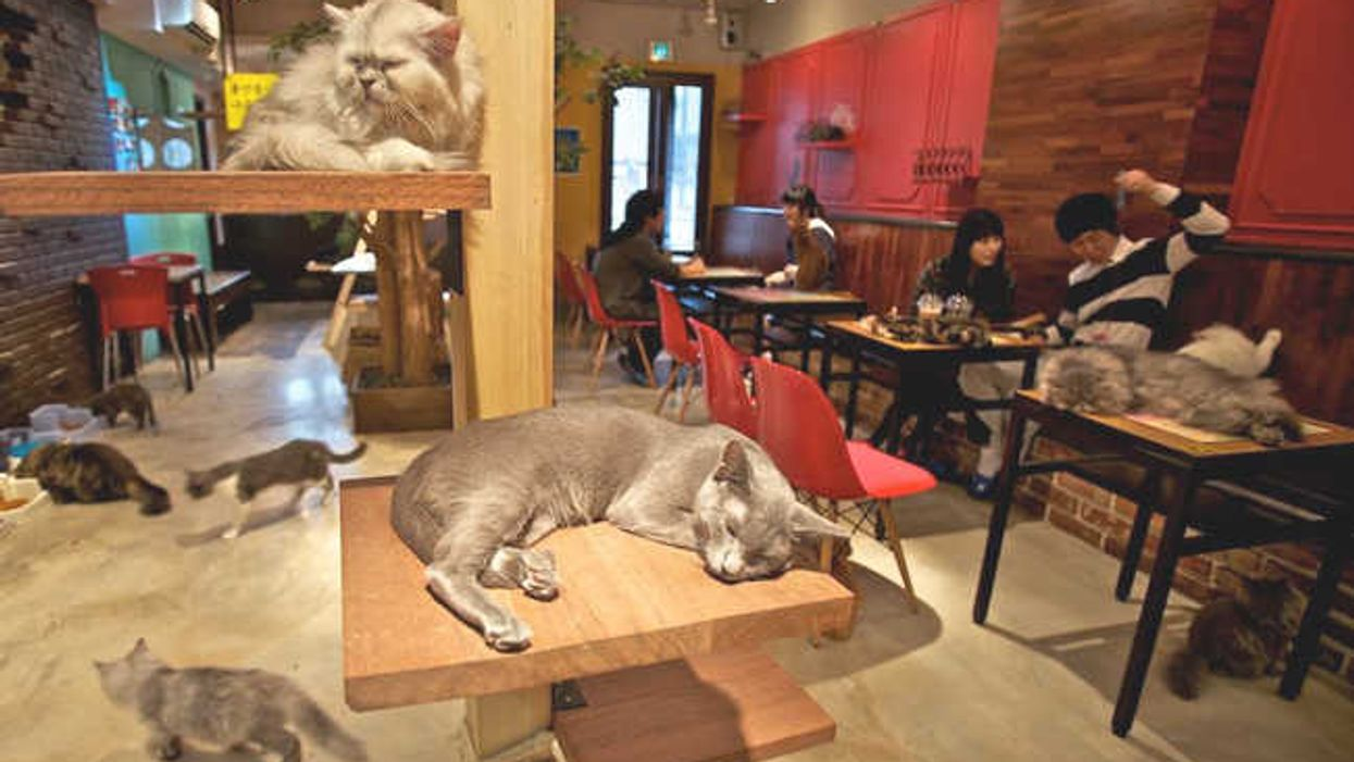 Montreal Opens First Ever North American Cat Café