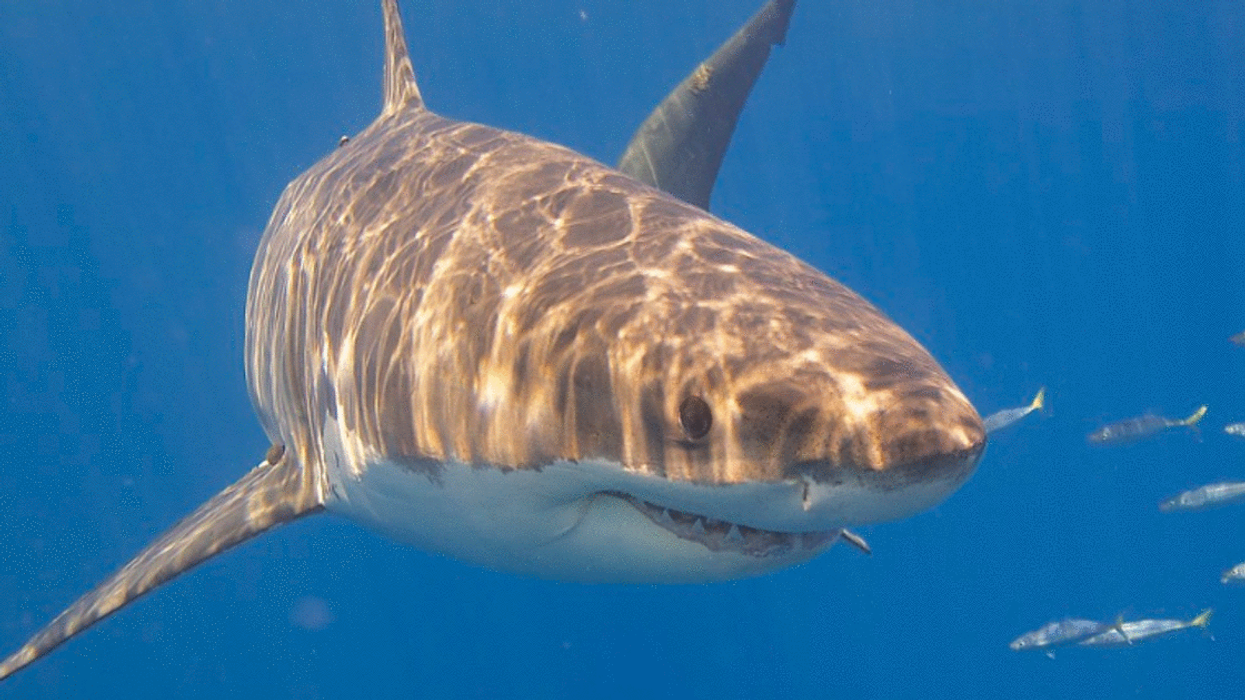 A Second Shark Has Been Tracked Swimming In The Gulf Of Saint Lawrence
