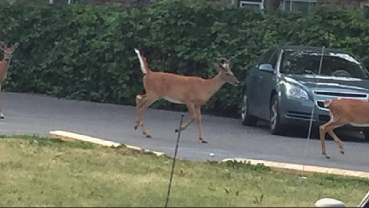 A Herd Of Deer Was Spotted In Anjou Yesterday And Nobody Knows How They Got There (Photos)