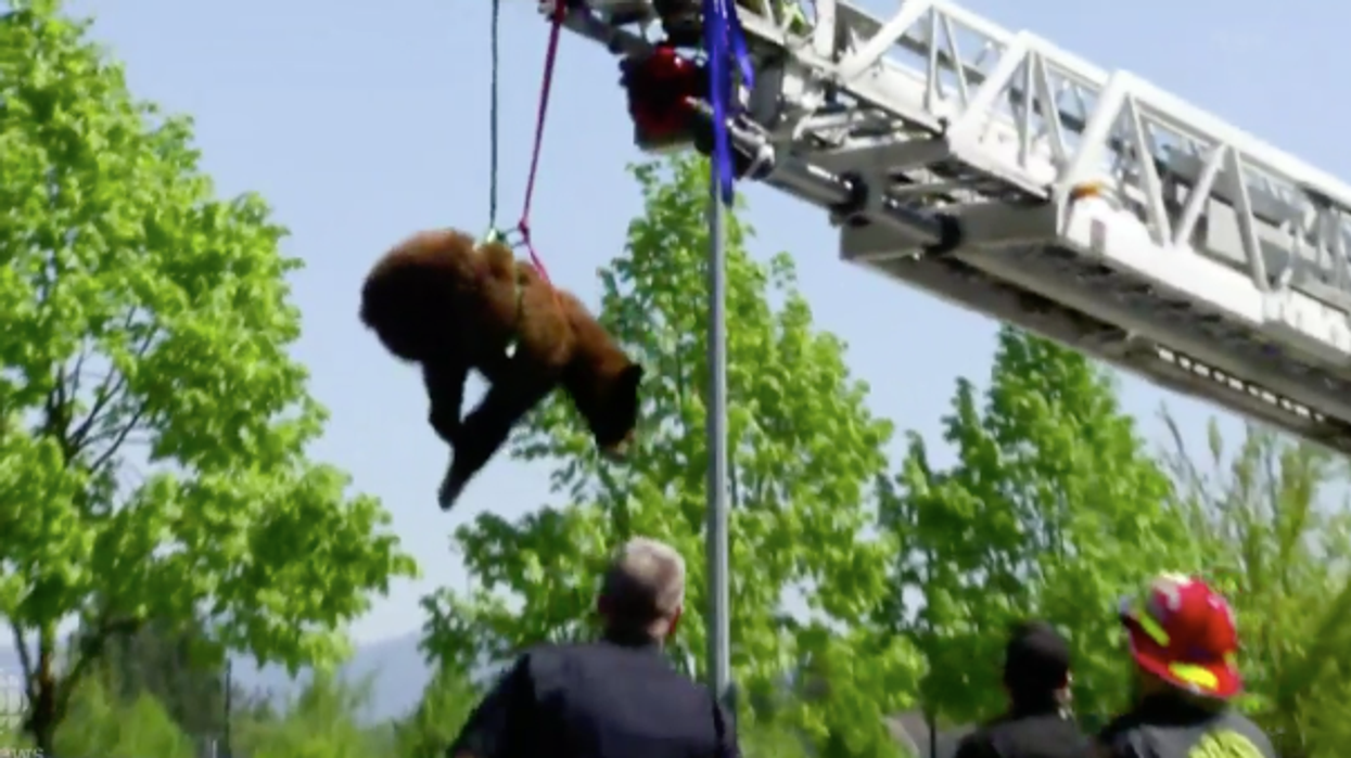 Video Showing Huge Bear Getting Rescued Out Of A Tree In Canada