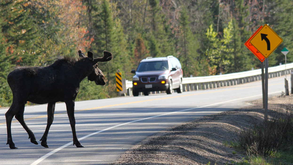 How To Survive A Moose Attack