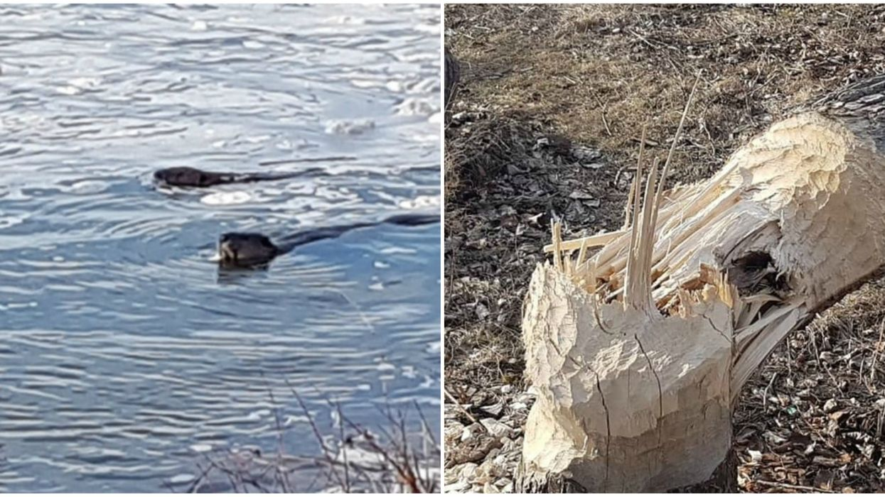 Looks Like Beavers Are Back At Montreal's Nun's Island But It Might Not Be A Good Thing