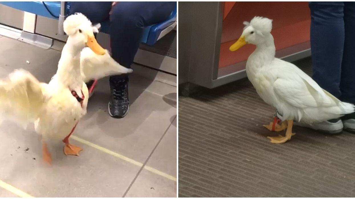 Montreal Metro Passengers Spots Fabulous Duck On The Orange Line (Video)