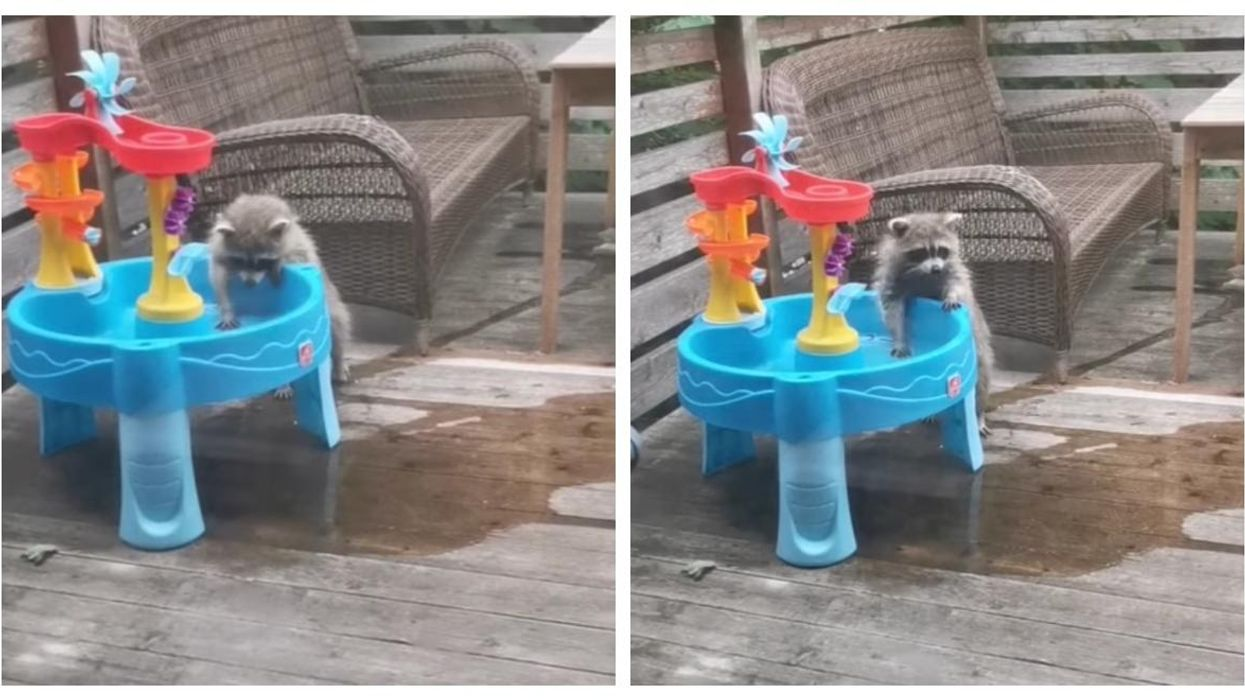 Montreal Raccoon Taking A Shower Is The Cutest Thing Ever