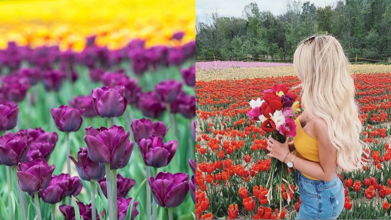 The Massive Pick-Your-Own Tulip Fields Near Montreal Are Coming Back